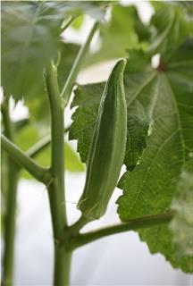 野菜 ネバネバ
