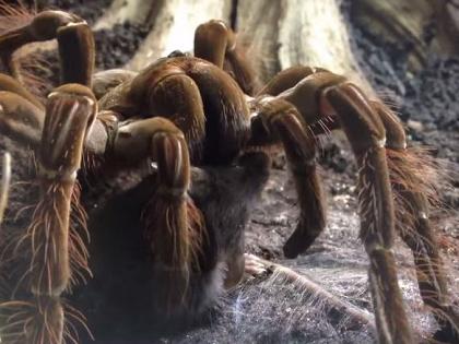 鳥もネズミも食べる世界最大のクモ「ゴライアスバードイーター」とは? @DIME アットダイム w
